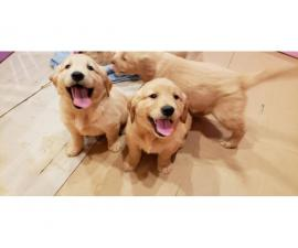 2 males AKC golden retriever puppies