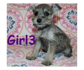 Tiny toy Schnauzers 5 puppies available