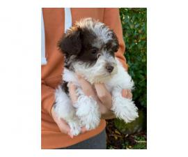 Male Schnoodle puppies for sale