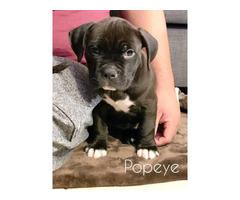 3 American Bully / Pitbull puppies