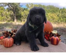 Newfoundland Puppies  7 males and 4 females