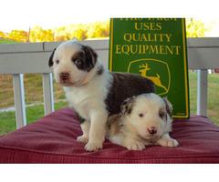 Pretty AussiePuppies for Sale