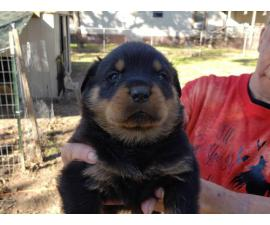 5 Rottweilers for sale