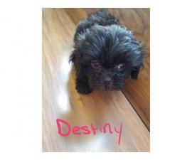 5 Shih Tzu Pups available for newhomes