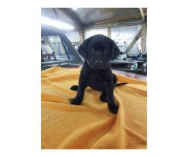 AKC Registered Black Lab Puppies