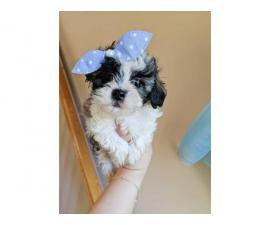 Boys & Girls Teacup Poodle Puppies