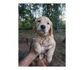 4 female full blooded golden retrievers
