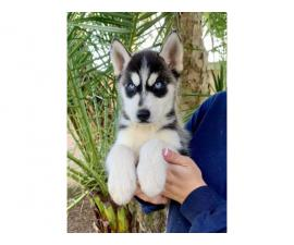 5 Husky Puppies Ready now