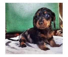 8 Weeks old dapple Dachshund miniature puppy