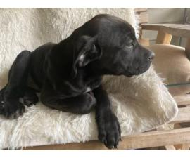 13 weeks old Cane Corso puppy