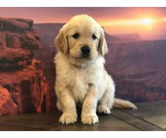 Purebred Golden Retriever Puppies