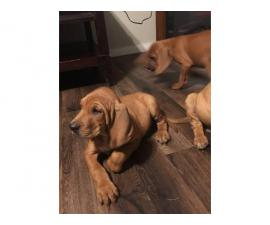 Beautiful 7 weeks old blood hound puppies for sale