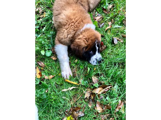13 Weeks Old Purebred St Bernard S Female Puppy In Rochester New York Puppies For Sale Near Me