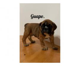3 Beautiful Olde English Bulldogge puppies for Rehoming