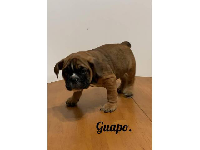 3 Beautiful Olde English Bulldogge Puppies For Rehoming In San Angelo Texas Puppies For Sale