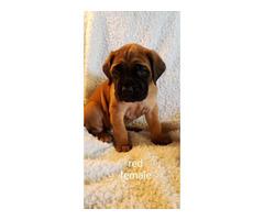 English mastiff puppies pet