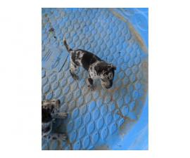 Six Catahoula Leopard Dog / Mountain Cur Mix Puppies