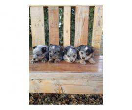 4 pure bred male Blue Heeler puppies for sale