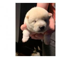 Pure bred Shiba Inu Puppies
