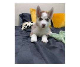 8 Husky puppies for sale