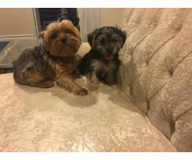 Female Yorkie poo puppies