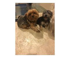 Female Yorkie poo puppies