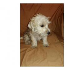 Schnoodle puppies 2 boys and 1 girl