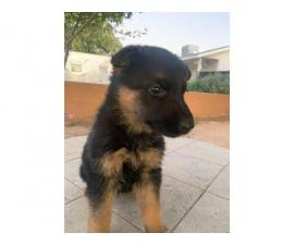 1 female German Shepard puppies for sale