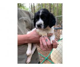 4 Brittany spaniels for rehoming