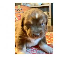 6 AKC Australian Shepherd Puppies ready for Christmas