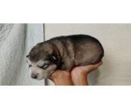 8 Alaskan Malamute puppies for sale