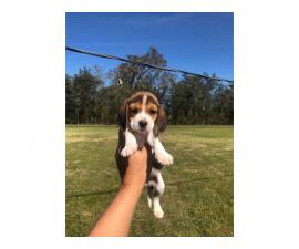 2 months old Beagle puppies