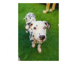 Dalmatian male puppy to be rehomed