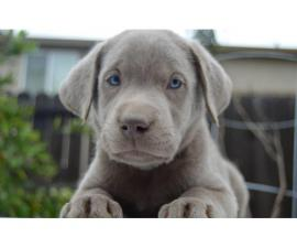 Silver Lab puppies available
