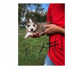 Four Siberian husky pups looking for a new home