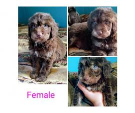 Australian Shepherd / Poodle Mix Puppies for sale