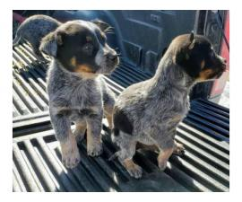 8 weeks old Australian cattle dogs