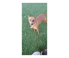 Doberman pincher puppy