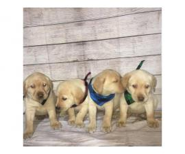 4 Lab Puppies looking for good home