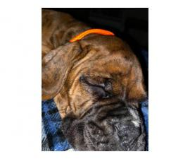 one male full blooded boxer puppy for sale