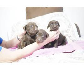 4 Black & Chocolate Labrador Retriever Puppies for Sale