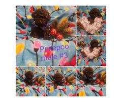 Pekingese / Poodle Peekapo Puppies