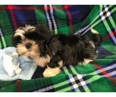 Male Shih Tzu Puppy for Adoption