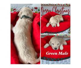 Beautiful Litter of 11 Goldendoodle mix Puppies
