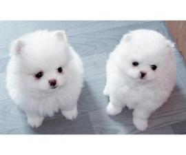 Male and Female Pomeranian Puppies (281) 972-0178