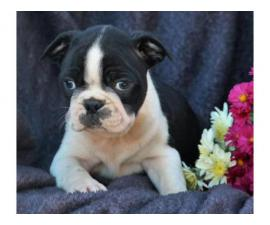 fd Boston Terrier puppies for sale
