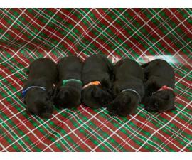 Champion bloodlines litter of 10 chocolate lab puppies