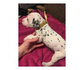 Dalmatian Puppies looking for great loving homes