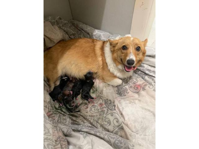Welsh Corgi Puppies 5 Sable Females And 3 Tri Colored Males