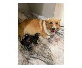 Welsh Corgi puppies, 5 sable females and 3 tri colored males